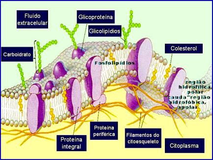 Resultado de imagem para bicamada lipidica membrana plasmatica