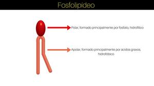 Fosfolipídeo