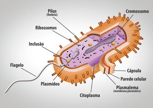 Resultado de imagem para citologia bacteriana