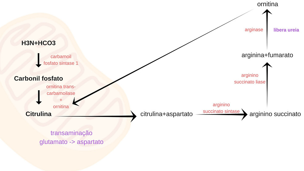 h3nhco3carbonil-fosfatocitrulina.jpg
