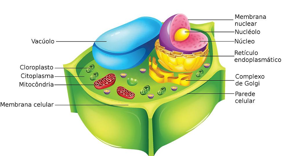 Resultado de imagem para citologia vegetal