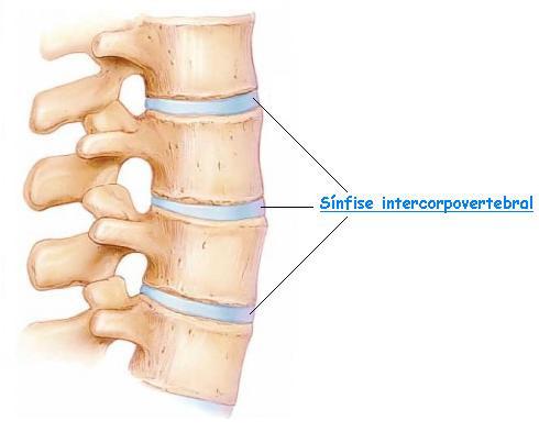 Resultado de imagem para sínfise intervertebral