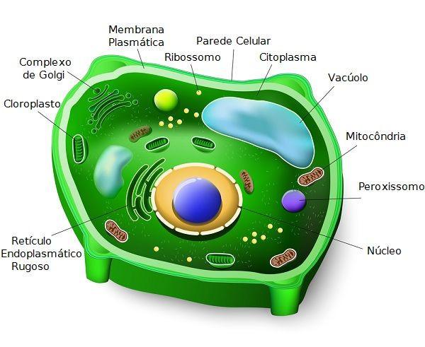 Resultado de imagem para celula vegetal