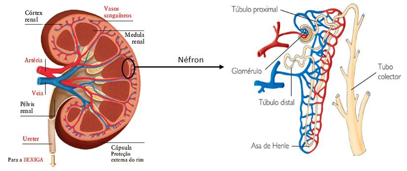 Resultado de imagem para rim e nefron