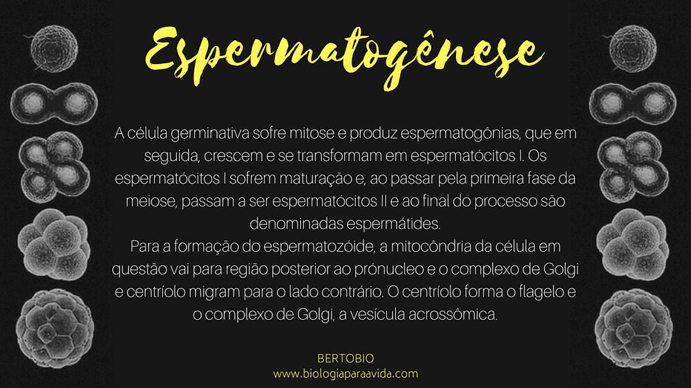 Espermatogênese.jpg