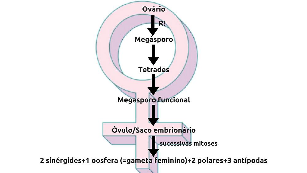 Pólen (microgametófito)Microgametogênese (R!)Microsporo (n) (1)