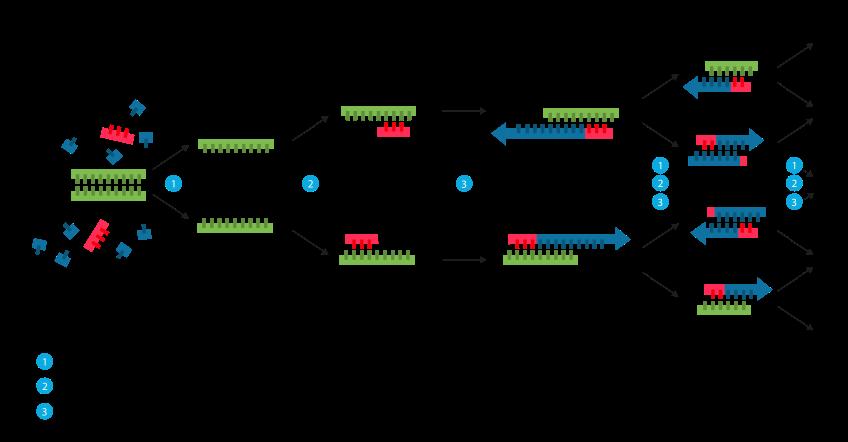 Reação em cadeia da polimerase – Wikipédia, a enciclopédia livre