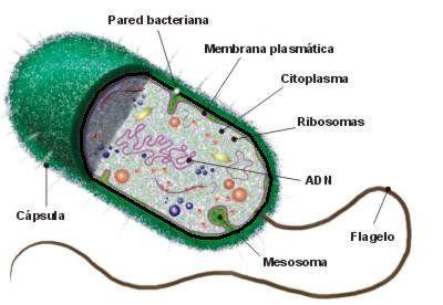 Resultado de imagem para célula procarionte