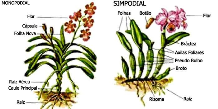 Resultado de imagem para crescimento simpodial e monopodial