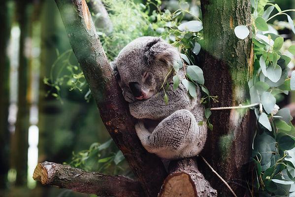 Parco Koala Sidney