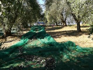 Orvieto agriturismo Le Casette raccolta olive