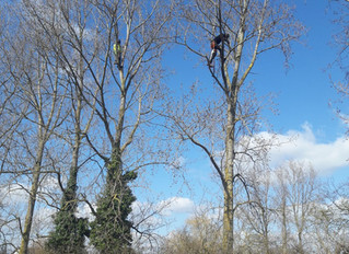 Reducing several Poplar trees in Great Staughton.