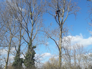 Reducing several Poplar trees in Great Staughton.