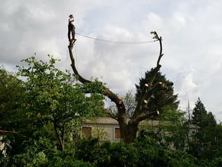 Felling a large Oak tree in Hardwick, Cambridgeshire.