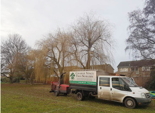 Reducing two large Willow trees in Little Paxton.