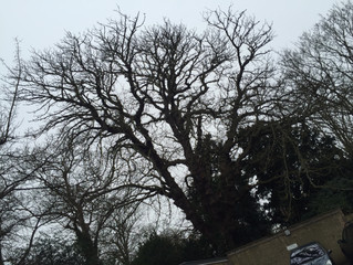 Felling a very large and dangerous Horse Chestnut in St Neots, Cambridgeshire