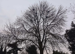 Reducing a large Ash tree in Buckden, St Neots, Cambridgeshire.