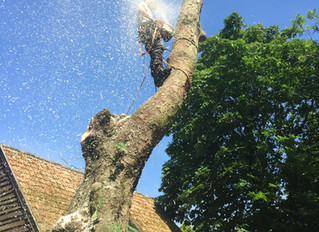 Felling a Horse Chestnut in Caxton
