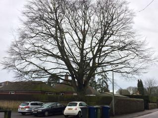 Felling a large Beech tree in Sawston, Cambridgeshire
