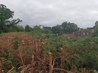 Reducing a large Leylandii hedge in Caxton, Cambridgeshire