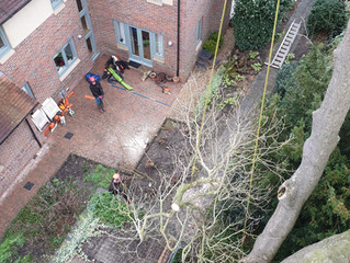 Large trees in confined spaces: a slight challenge but not a problem!