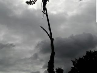 Tree surgery in St Neots, Cambridgeshire.