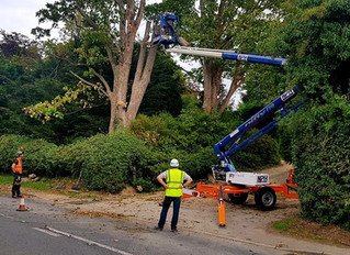 Felling a declining Sycamore in Caxton, Cambridgeshire.