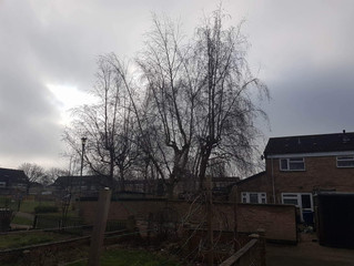 Reducing several Silver Birch trees in Newmarket, Cambridgeshire.