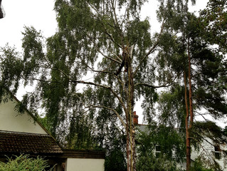 Felling a large Silver Birch tree situated over a house in Abbotsely, Cambridgeshire.