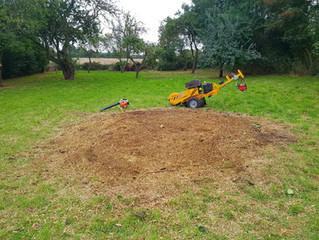 Stump grinding in Offord D'Arcy, Cambridgeshire.