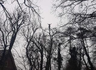 Pollarding several large Horse Chestnut trees in Stevenage, Hertfordshire.