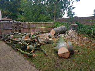 Felling a large Beech tree in Offord D'Arcy, Cambridgeshire.
