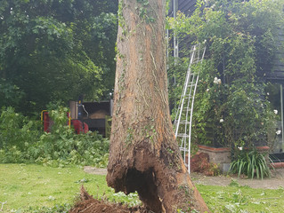 Felling Ash trees with 'Ash Dieback Disease' in Boxworth, Cambridgeshire