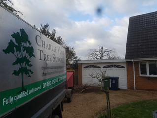 Reducing a Silver Birch tree in St Neots, Cambridgeshire.