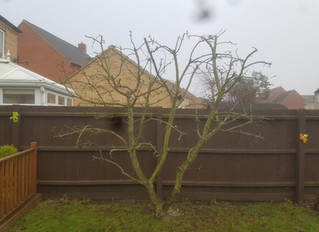 Pruning an Apple tree in St. Neots, Cambridgeshire.