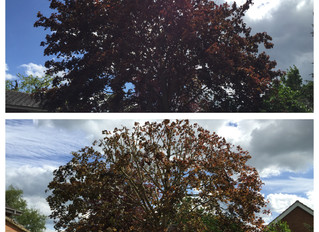 Reducing a Maple tree in St.Neots