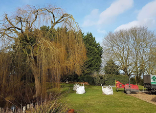 Reducing a Weeping Willow and a Horse Chestnut in Caxton, Cambridgeshire.