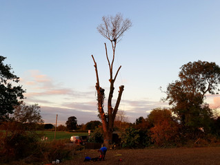 Felling a large Poplar tree in Offord D'Arcy, Cambridgeshire