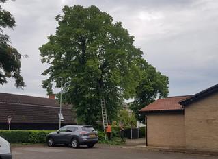 Tree surgery at Offord Darcy Village Hall.