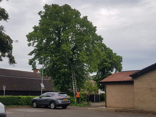 Tree surgery at Offord Darcy Village Hall.