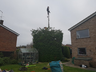 Reducing a large Cypress in Melbourn, Cambridgeshire.