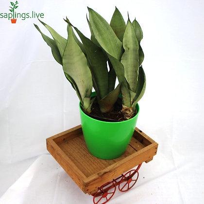 Sansevieria Trifasciata,'Moonshine' Plant