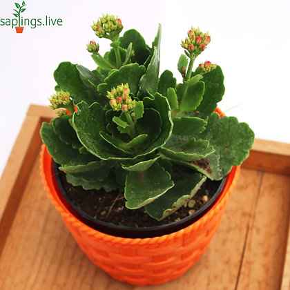 Kalanchoe Blossfeldiana Flowering Plant (Any color)