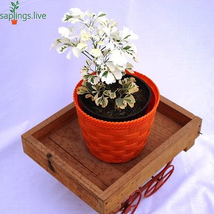 Shield Aralia (Polyscias Scutellaralia) Plant