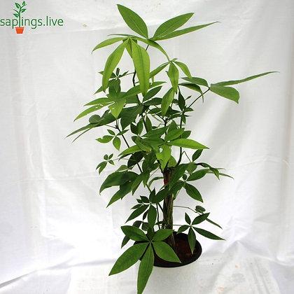 Pachira Aquatica Plant or Money Tree