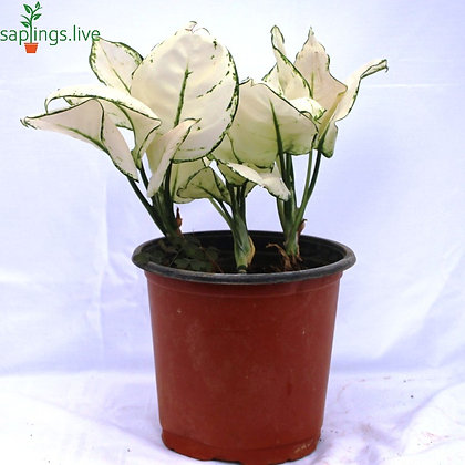 Aglaonema Super White