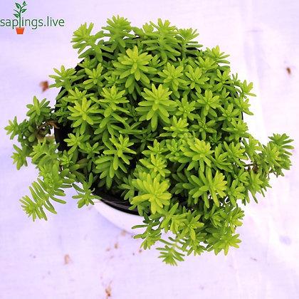 AngelinaStonecrop(Sedum Angelina) Plant