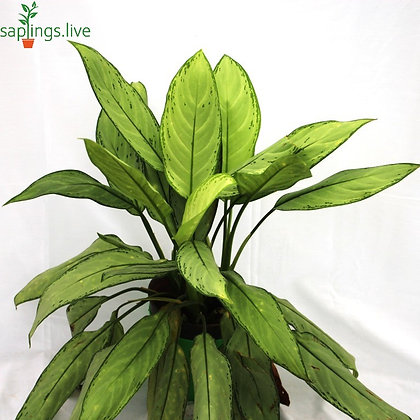 Aglaonema Green (Chinese Evergreen) Plant