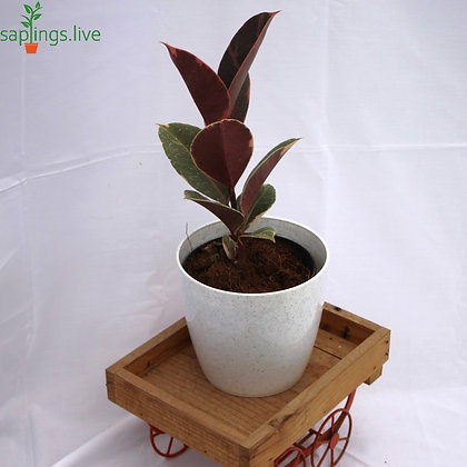 Variegated Rubber Plant or Ficus elastica