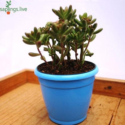 Sedum Pachyphyllum (Jelly Bean Plant)